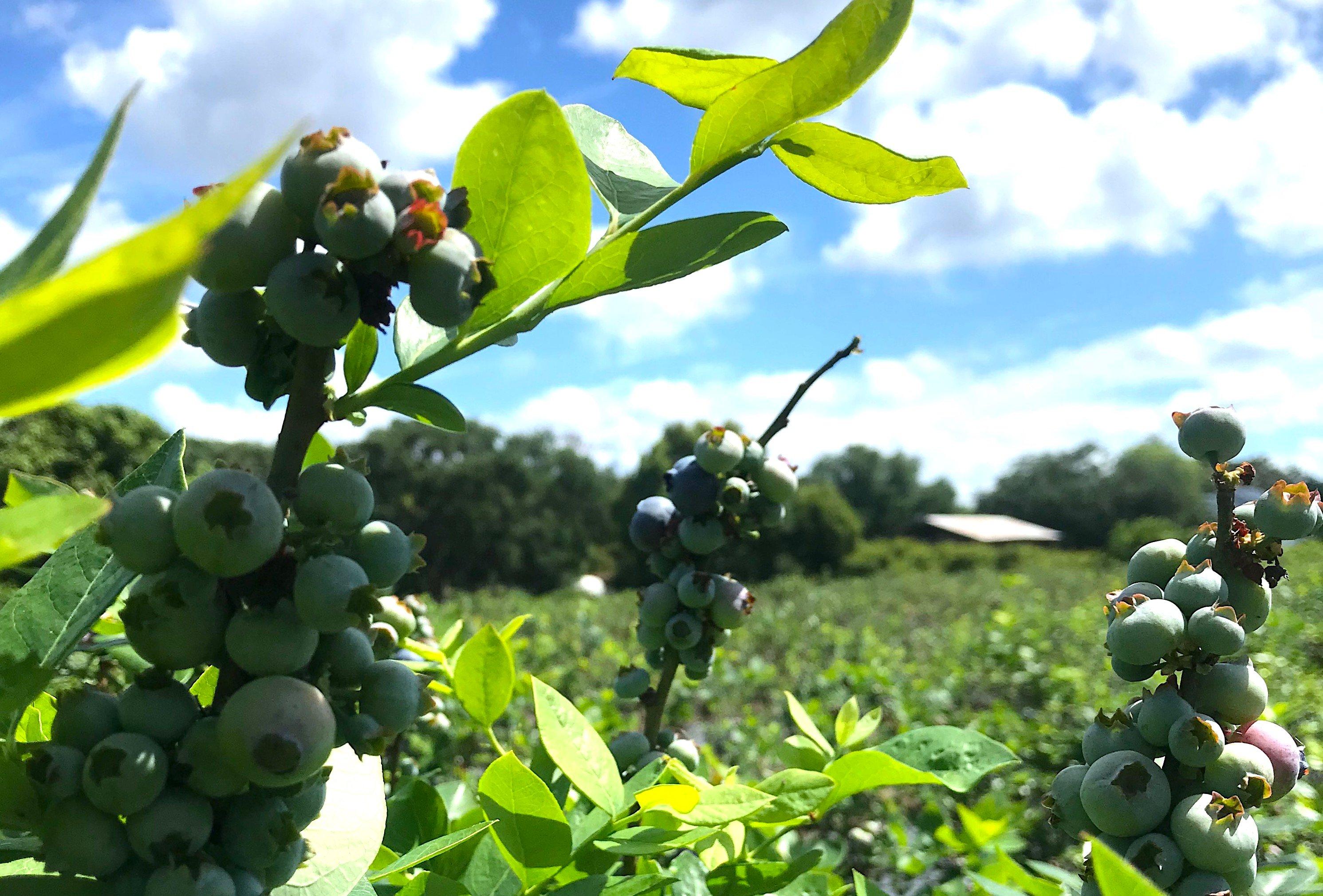 blueberries 3.1