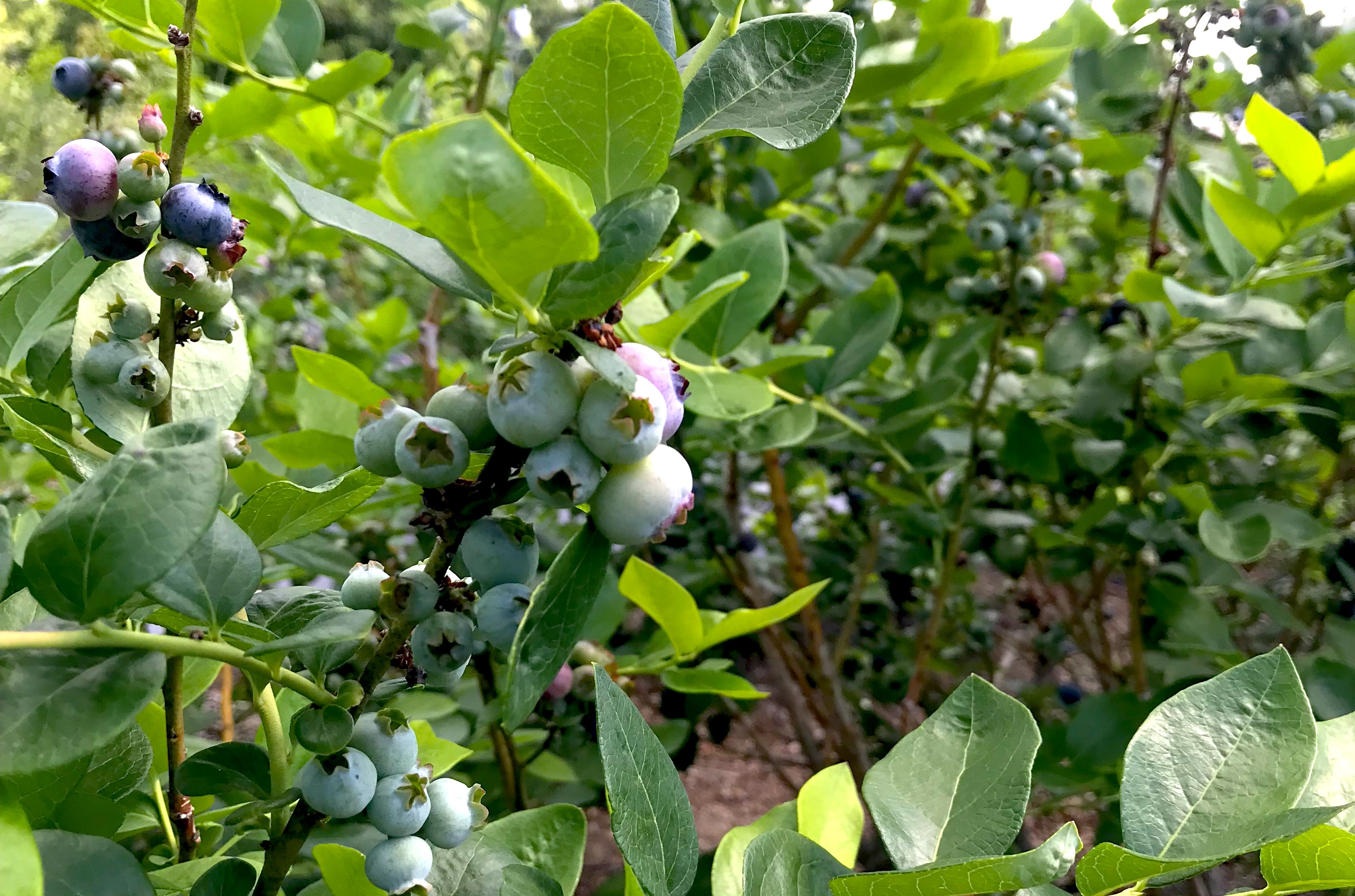 blueberrries 4.1