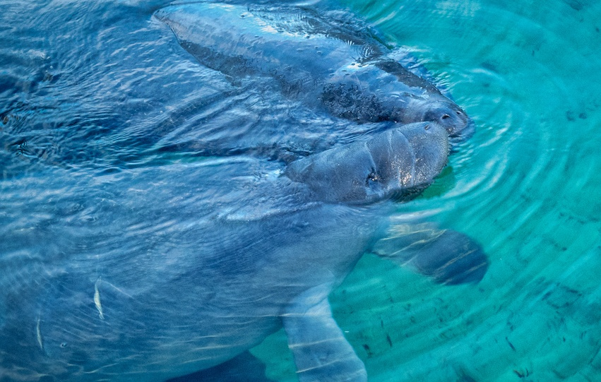manatees in the st johns river near deland florida.jpg